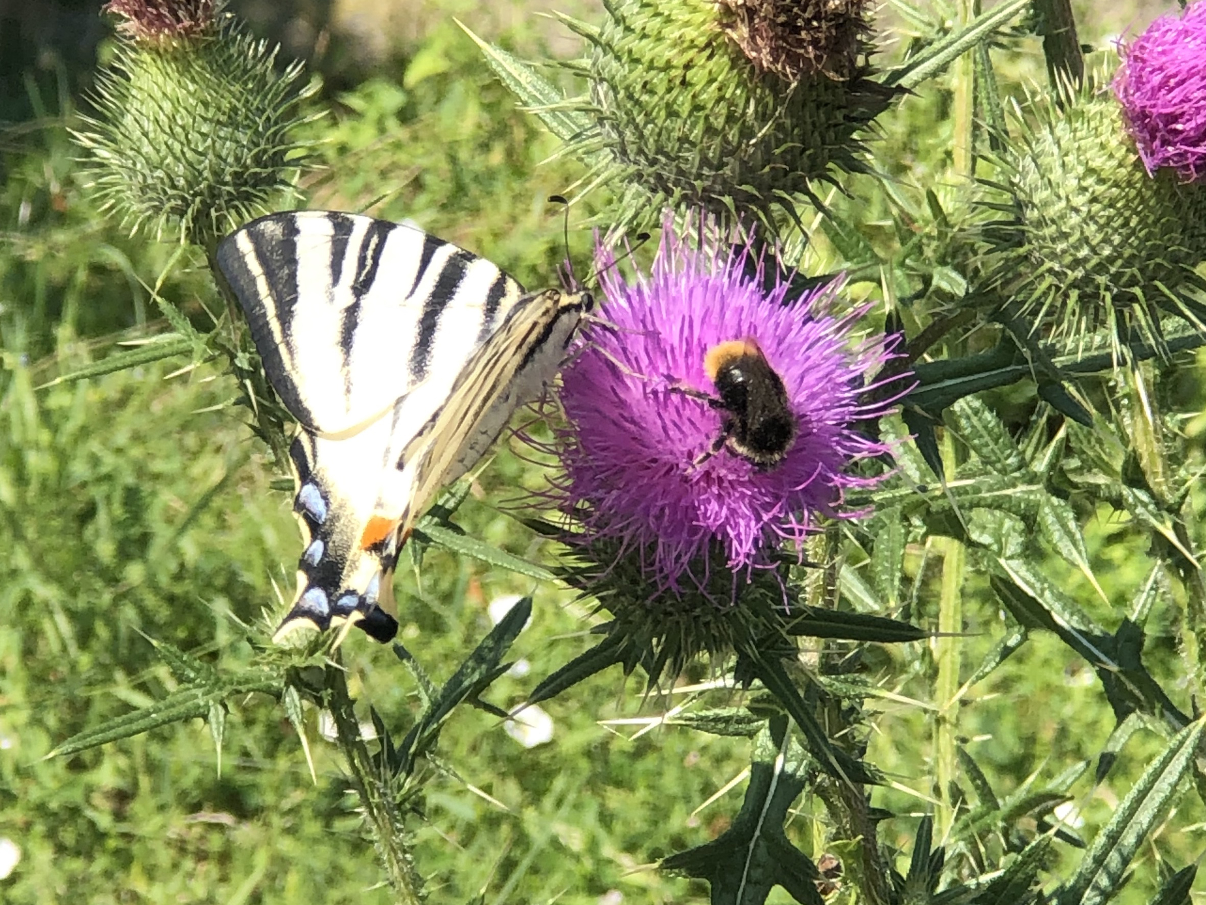 Meeting Scarce Swallowtail